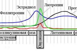 Менструальный цикл (схема)