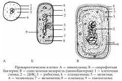 Виды прокариотических клеток в организме
