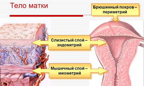 Расположение эндометрия
