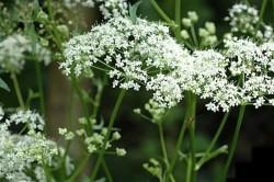Польза травы бедренец для лечения кольпита